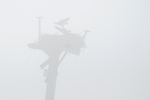 Mating ospreys in early April fog