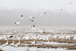 Snow geese flock in April morning fog
