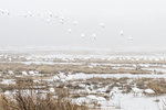 Snow geese flock in April morning fog