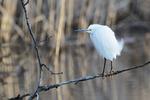 Snowy egret in early April