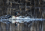 American wood duck splash down on early April pond