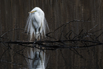 Great egret in early April breeding plumage