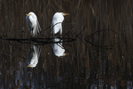Great egrets in early April