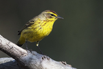 Palm warbler in mid-April woods
