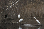 Fresh water pond with egrets, black-crowned night herons and glossy ibis in mid-April
