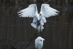 Great egret chasing snowy egret from perch