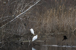 Great egrets, ibis and black-crowned night herons at mid-April pond