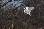 Great egret and flowering swamp maple in mid-April