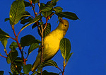 Female Yellow Warbler With Insects For Nestlings