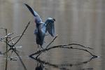 Adult little blue heron on April pond