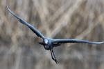 Adult little blue heron flight above April pond