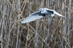Juvenile little blue heron flight above April pond