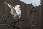 Snowy egret and great egret arriving