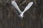 Snowy egret take-off
