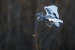 Juvenile little blue heron flight above April pond,
