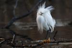 Snowy egret in breeding plumage, birds, wading birds,