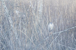 Black-crowned night heron in early dawn mist