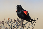 Red-winged blackbird displaying in late April