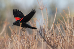 Red-winged blackbird flight in late April