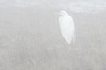 Great egret in morning fog late April salt marsh habitat