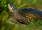 Diamondback Terrapin On An Early June Morning