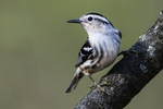 Black and white warbler foraging in early May