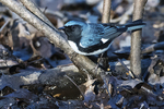 Black-throated blue warbler foraging in early May