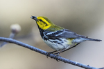 Black-throated green warbler foraging in early May