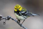 Black-throated green warbler in early May