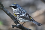 Yellow-rumped warbler  in early May