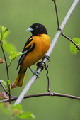 Baltimore oriole in early May