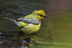 Blue-winged warbler bathing in early May