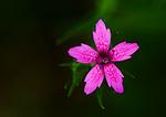 Deptford Pink Blossom Close-Up