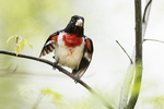 Rose-breasted grosbeak in early May