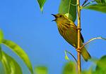 Yellow Warbler Singing In June
