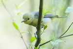 Female scarlet tanager in early May