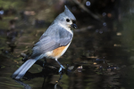 Tufted titmouse in early May