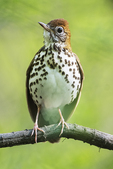 Wood thrush in early May