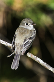 Least flycatcher in late may