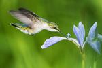 Female ruby-throated hummingbird nectarine on blue-flag iris in late May
