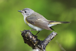 Female American redstart in late May