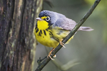 Canada warbler in late May