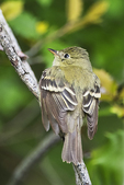 Yellow-bellied flycatcher in late May