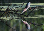 Green-backed heron reflection in early June