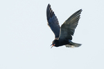 Black tern in late June hovering