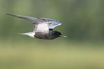 Black tern in late June flight
