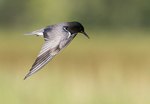 Black tern in late June flight