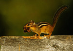 Chipmunk Carrying Dried Leaves
