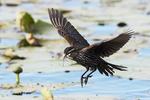 Female red-winged blackbird flight in freshwater marsh habitat