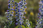 Vipers bugloss in early summer bloom